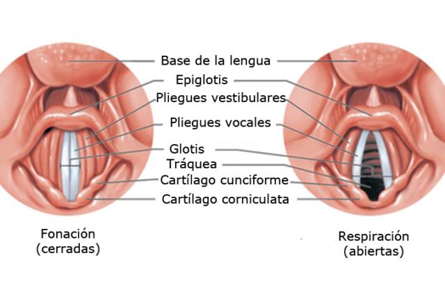 Cuerdas vocales. Cómo son, cuántas hay y cómo funcionan las cuerdas vocales.
